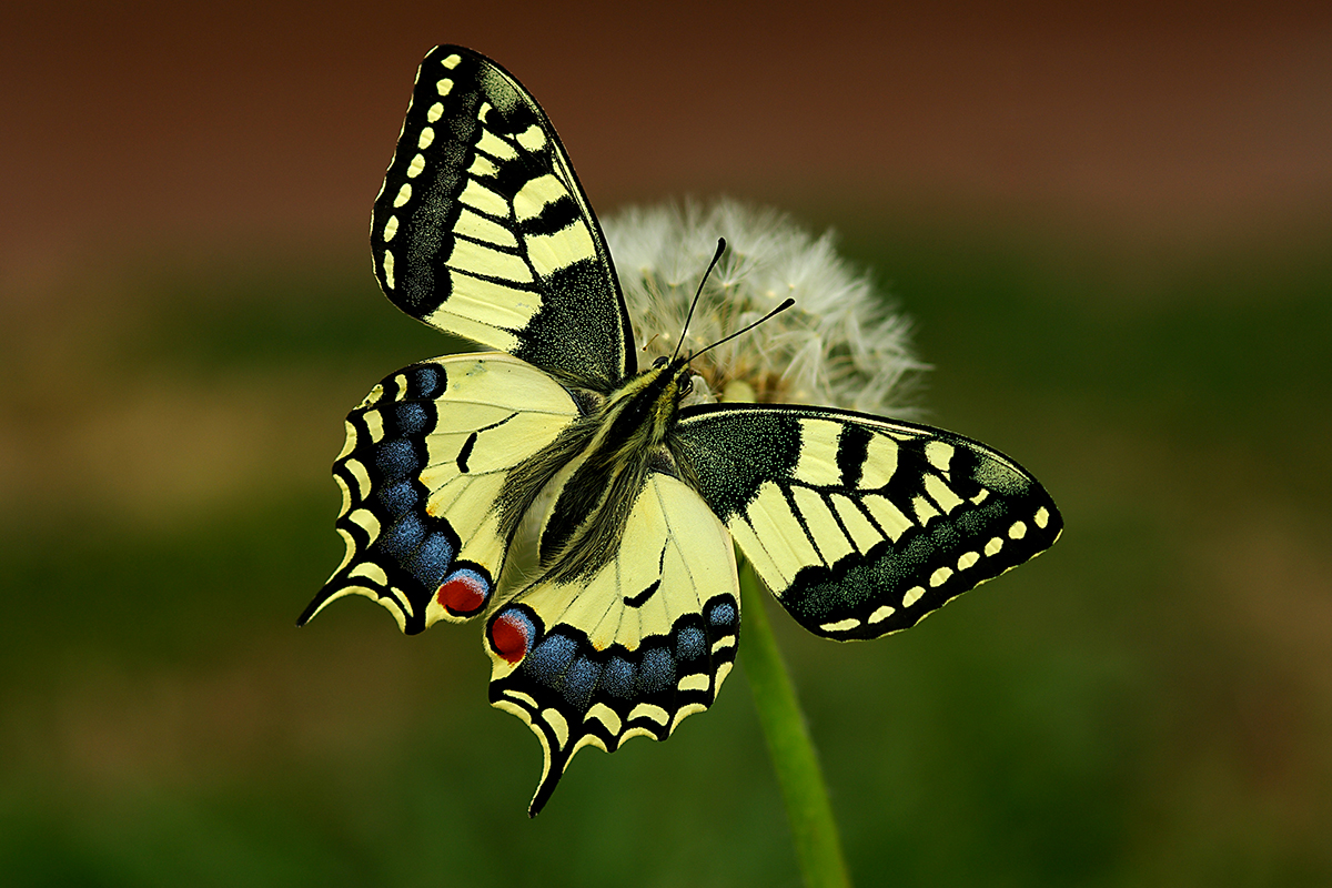 Macaone (Papilio machaon).