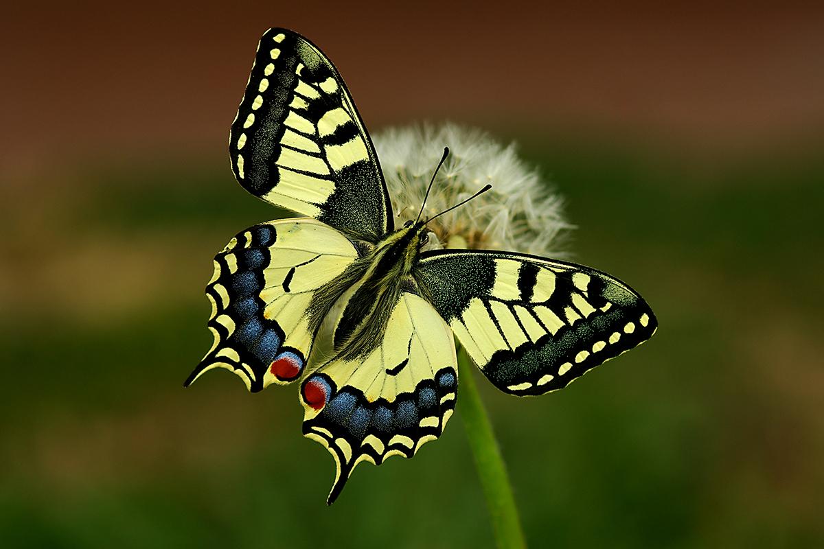 Macaone (Papilio machaon).
