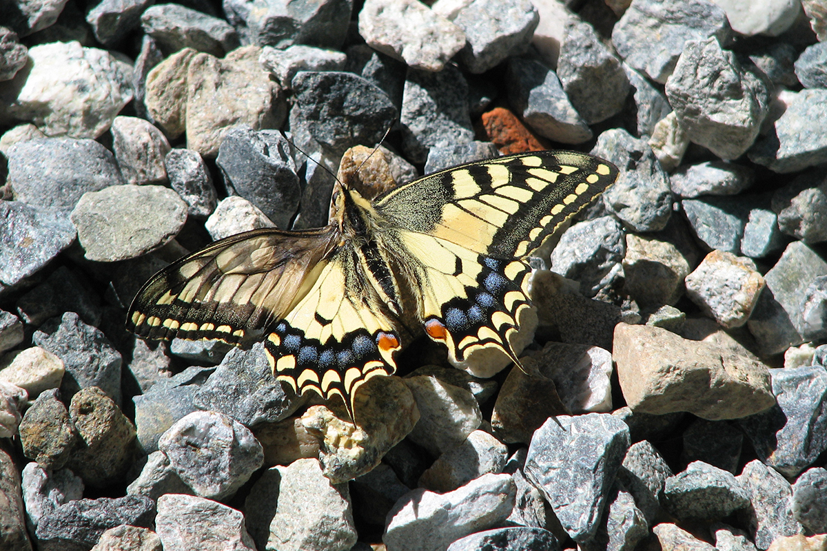 Macaone (Papilio machaon). (Foto: Archivio Lucio Bordignon)