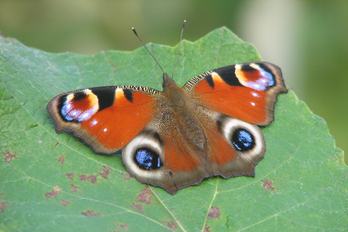 Occhio di pavone (Inachis io). (Foto: Archivio Lucio Bordignon)