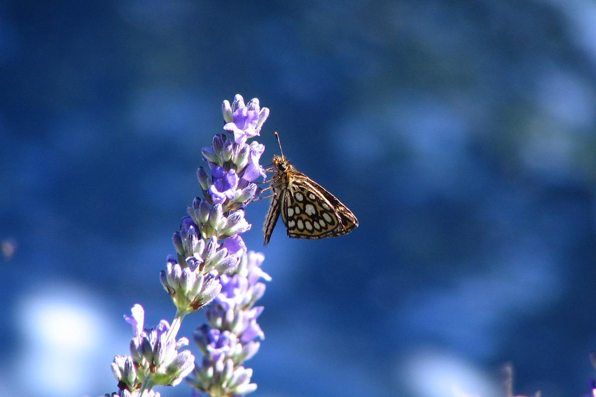 Morfeo (Heteropterus morpheus). (Foto: Archivio Lucio Bordignon)