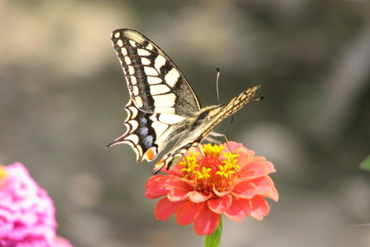 Macaone (Papilio machaon). (Foto: Archivio Lucio Bordignon)